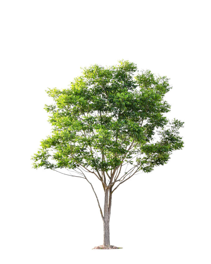 Beautiful green tree on a white background on high definition stock photography