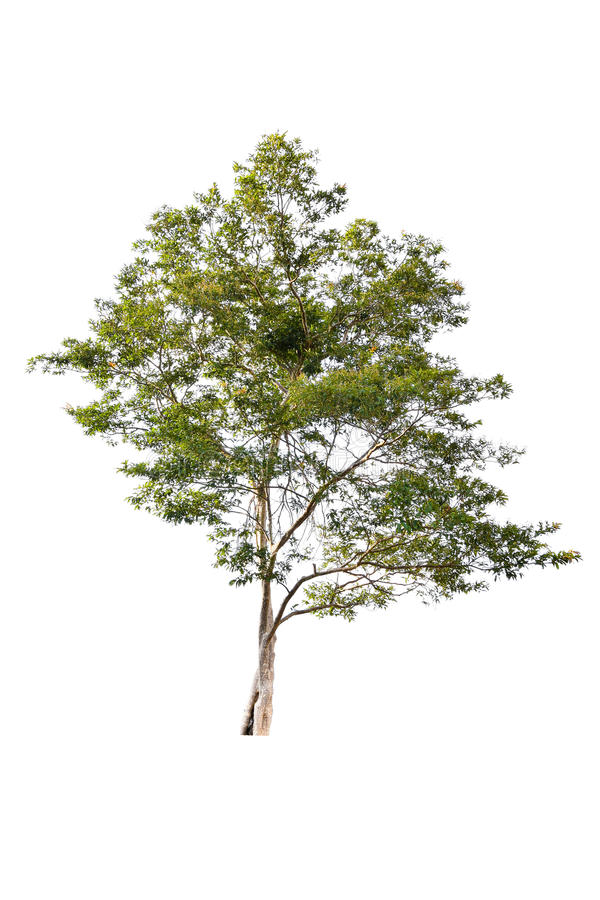 Beautiful green tree on a white background on high definition. Beautiful green tree isolate on white background with clipping path (high definition royalty free stock photos