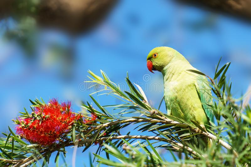 Beautiful green wild Parrot bird on a branch with red flower. royalty free stock photo