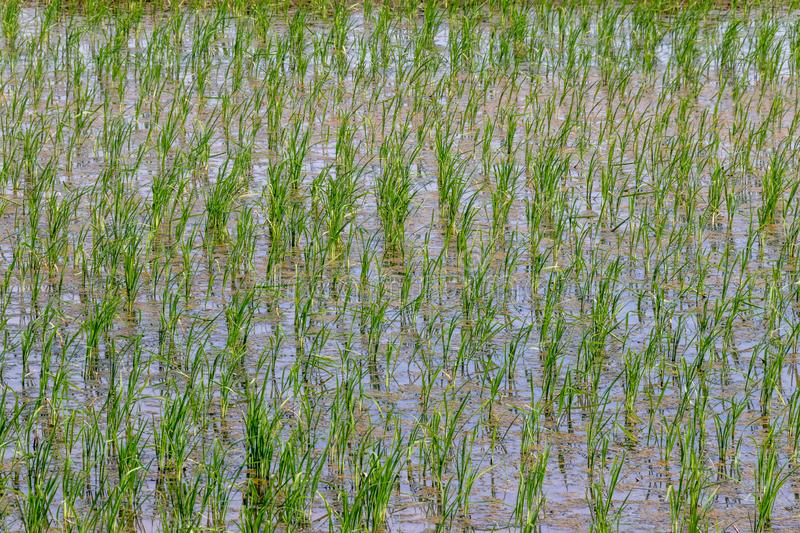 Beautiful green young paddy rice field with water. Closeup view stock photography
