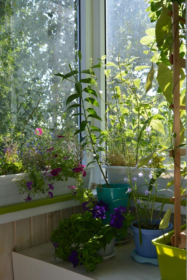 Beautiful greening of the balcony. Cozy garden in home. Blooming flowers grow in pots and boxes.  stock images