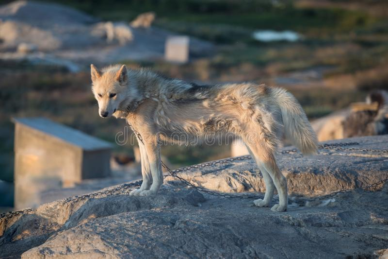 Beautiful greenland sled dog lighted with backlight from warm summer sun. Ilulissat, Greenland. Greenland Dog puppy These breeds royalty free stock photography