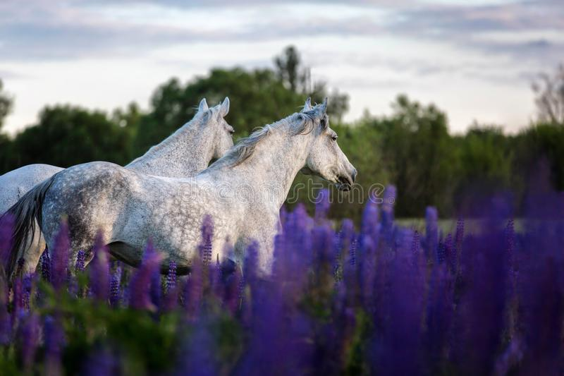 Arabian horses running free on a flower meadow. royalty free stock photography