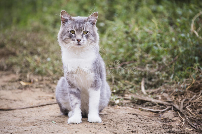 Beautiful grey cat outdoors. A beautiful grey white cat outdoors looking stock images