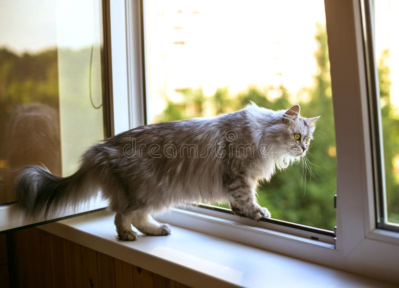 Beautiful grey cat sitting on windowsill and looking to a window. Persian cat relax on the windowsill. Summer weather ousite a window royalty free stock images