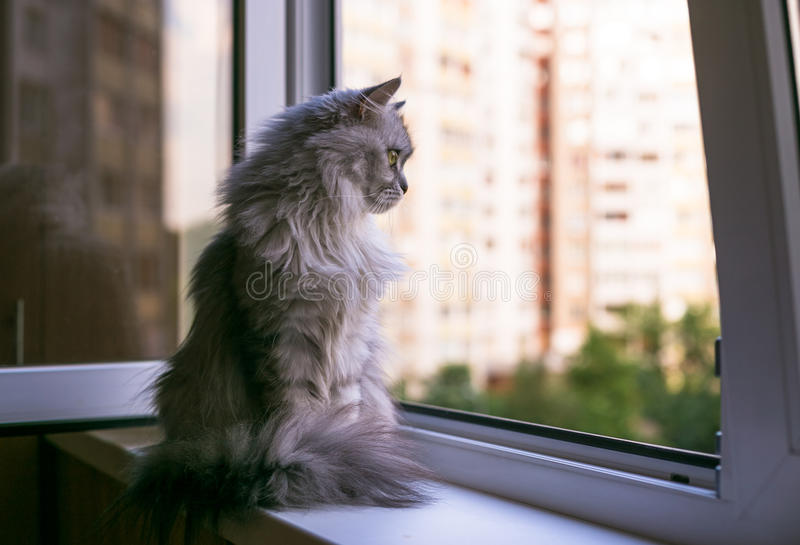 Beautiful grey cat sitting on windowsill and looking to a window. Persian cat relax on the windowsill. Summer weather ousite a window stock image