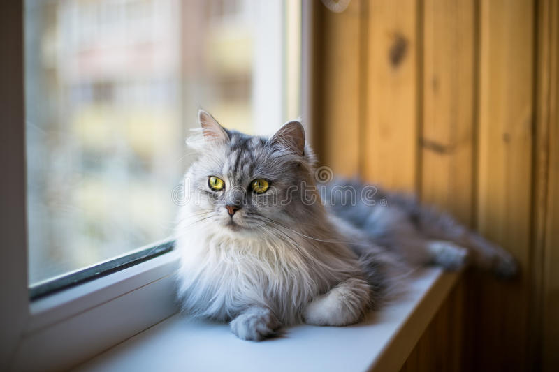 Beautiful grey cat sitting on windowsill and looking to a window. Persian cat relax on the windowsill. Summer weather ousite a window royalty free stock photography