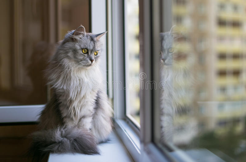 Beautiful grey cat sitting on windowsill and looking to a window. Persian cat relax on the windowsill. Summer weather ousite a window stock photos