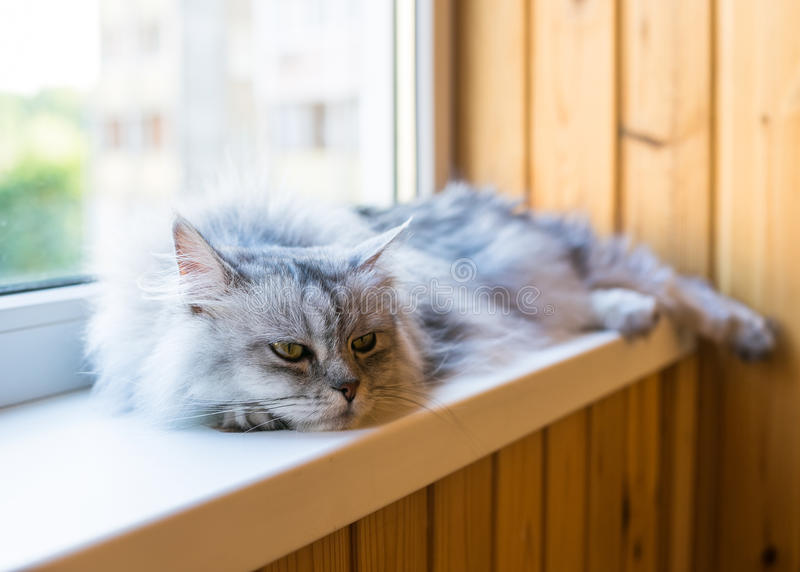 Beautiful grey cat sitting on windowsill and looking to a window. Persian cat relax on the windowsill. Summer weather ousite a window stock images