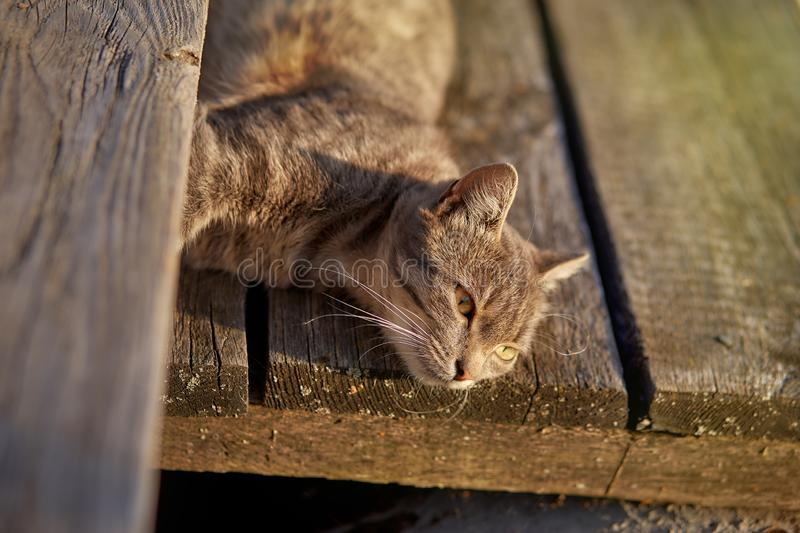 Beautiful grey cat sitting on the yard royalty free stock photography