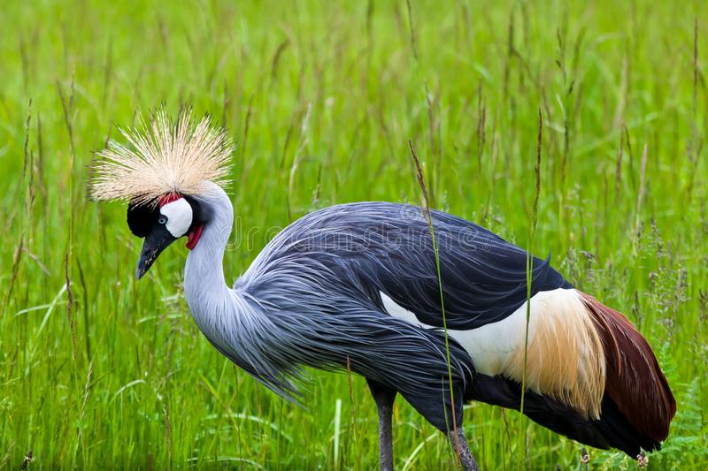 Beautiful Grey East African Crowned Crane walking through tall g stock images