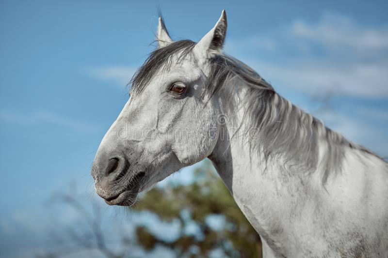 Beautiful grey horse in White Apple, close-up of muzzle, cute look, mane, background of running field, corral, trees. Horses are wonderful animals stock photos