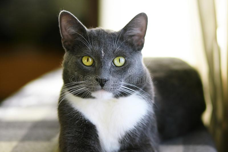 Beautiful grey house cat with bright green eyes stock images