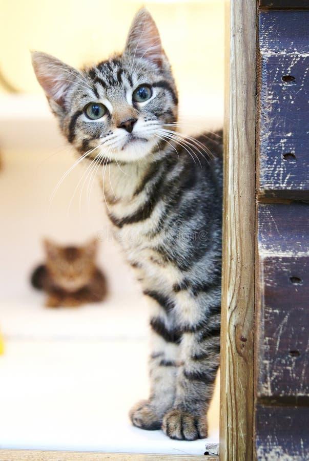 Beautiful grey kitten looking around a corner stock images