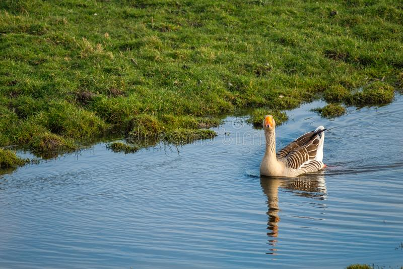 Beautiful Greylag goose swims In a ditch along a meadow stock photography