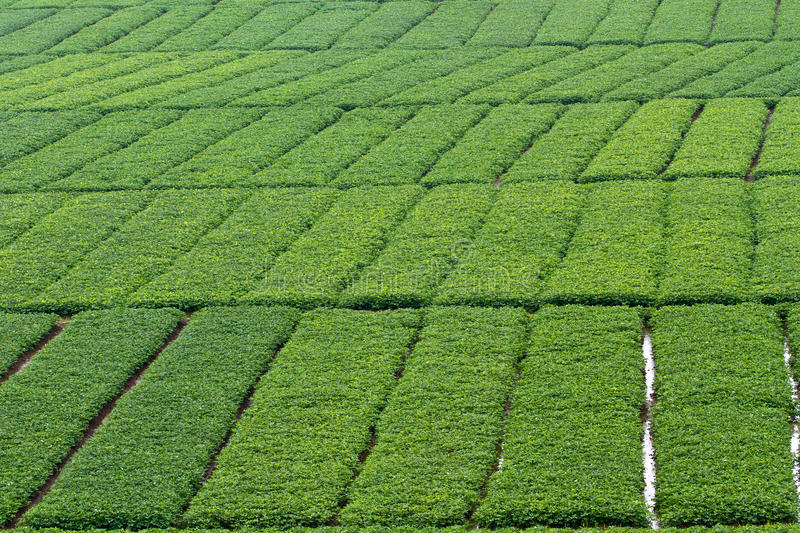 Beautiful groundnut field - background. In Vietnam royalty free stock photography