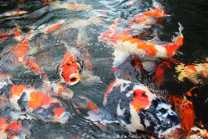 Beautiful group of koi fishes royalty free stock photo