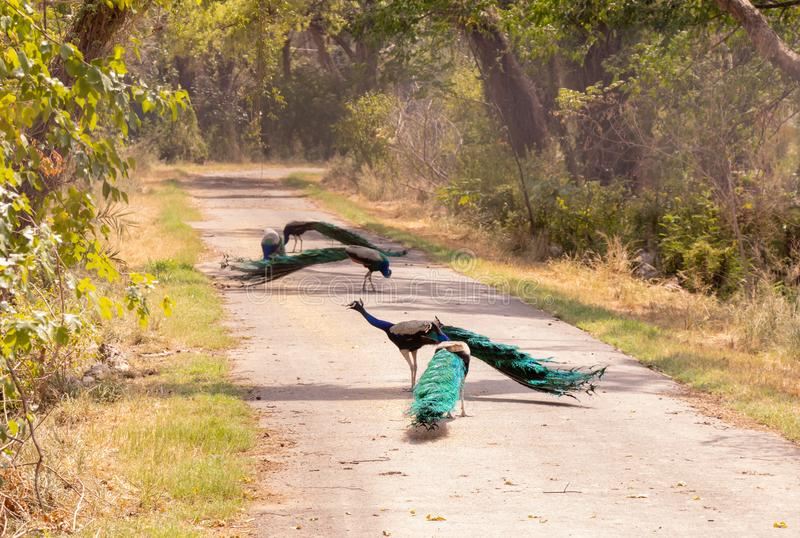 Beautiful group of Peacocks roaming in the middle of the road. Indian wildlife birds royalty free stock photography