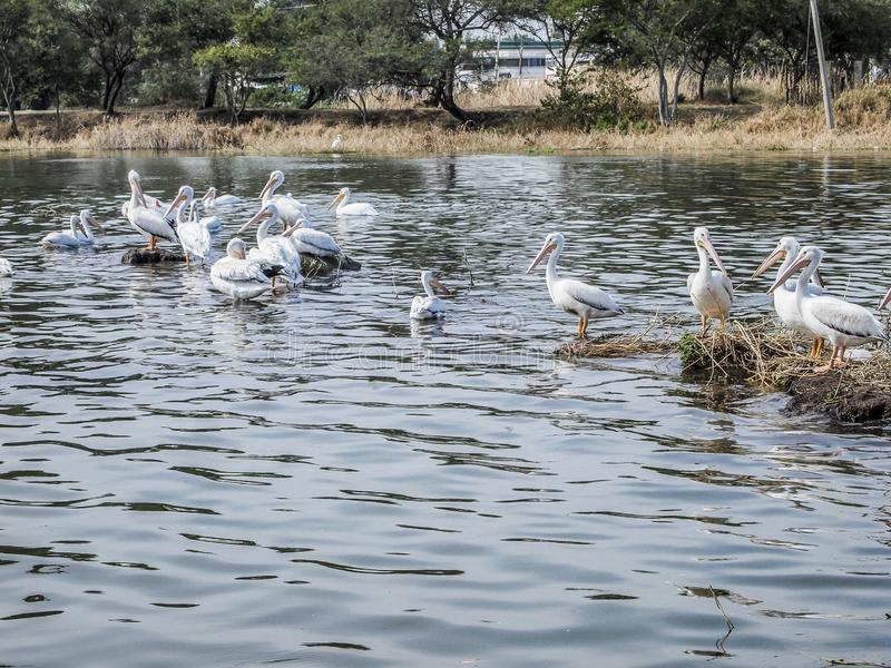 Beautiful group of pelicans on a lake with trees in the background. On a wonderful sunny in the state of Jalisco Mexico stock image