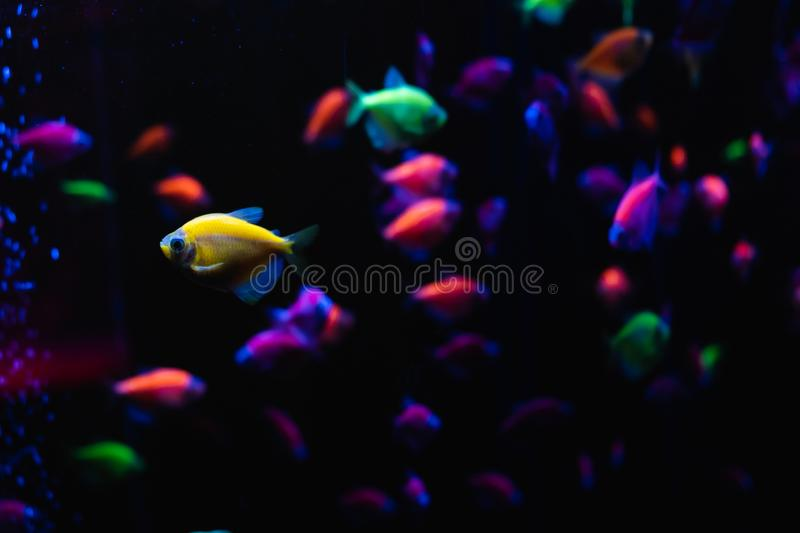 Beautiful group of sea fishes. Underwater colorful life. Bright yellow aquarium fish ternary closeup.  selective focus royalty free stock images