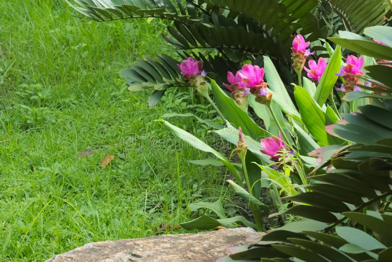 A beautiful group of tropical, shocking-pink, long-stem flowers, in a lovely garden-park, in Thailand. A beautiful group of tropical, shocking-pink, long-stem stock images