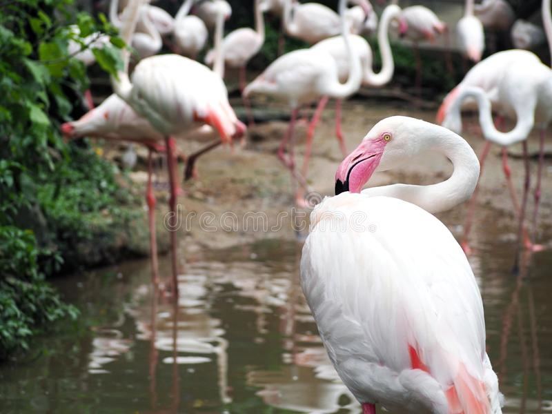Beautiful group of white flamingo are standing in the pond cleaning their body in the zoo royalty free stock images
