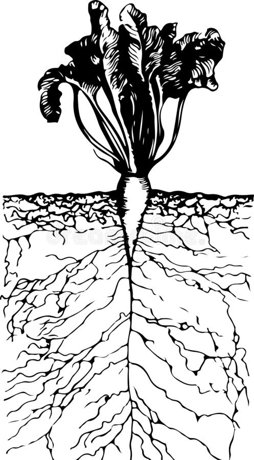 Beautiful growing beetroot with roots in the ground inside view. On white background stock illustration