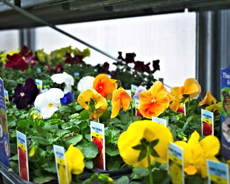 Beautiful growing pansy flowers for sale in a greenhouse. Beautiful growing hybrid pansy flowers for sale in a greenhouse with selective focus royalty free stock photography