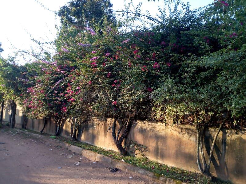 Beautiful grown rose trees royalty free stock photos