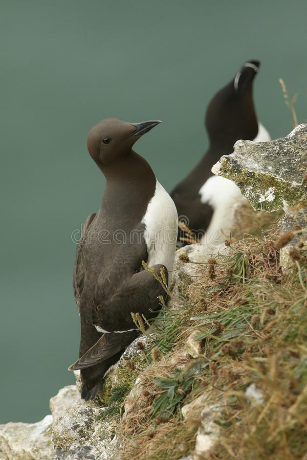 A beautiful Guillemot Uria aalge perching on the edge of a cliff in the UK. A stunning Guillemot Uria aalge perching on the edge of a cliff in the UK royalty free stock photo