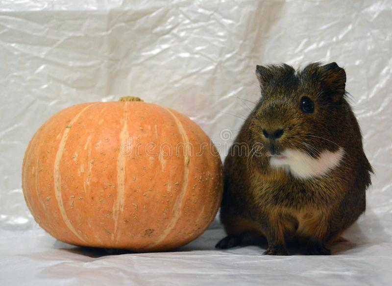 Beautiful guinea pig with pumpkin on light gray background. Cute pet royalty free stock images