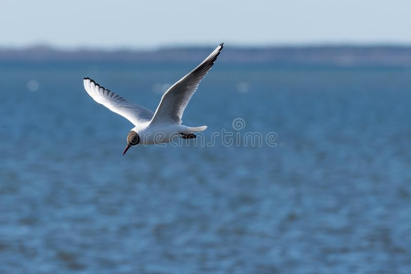 Beautiful gull in elegant flight royalty free stock photos