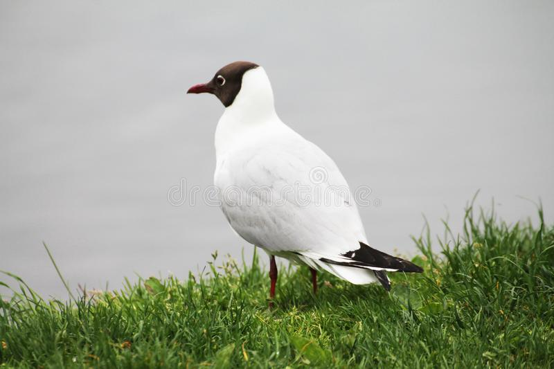 A beautiful gull gazes at the ducks on the lake.  royalty free stock image