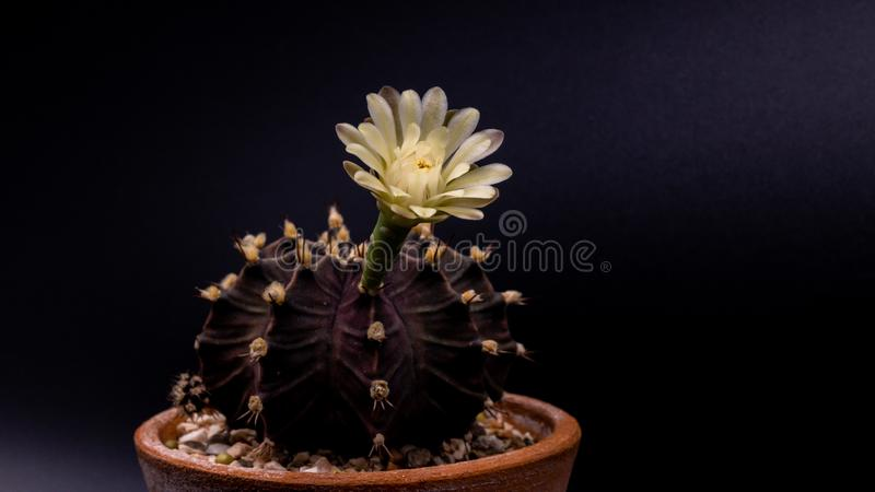 Close up Gymnocalycium mihanovichii  with flower cactus or Ruby Ball cacti on pot on isolate black background. stock image