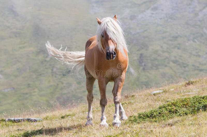 Beautiful haflinger horse in the Alps / mountains in Tirol royalty free stock photos