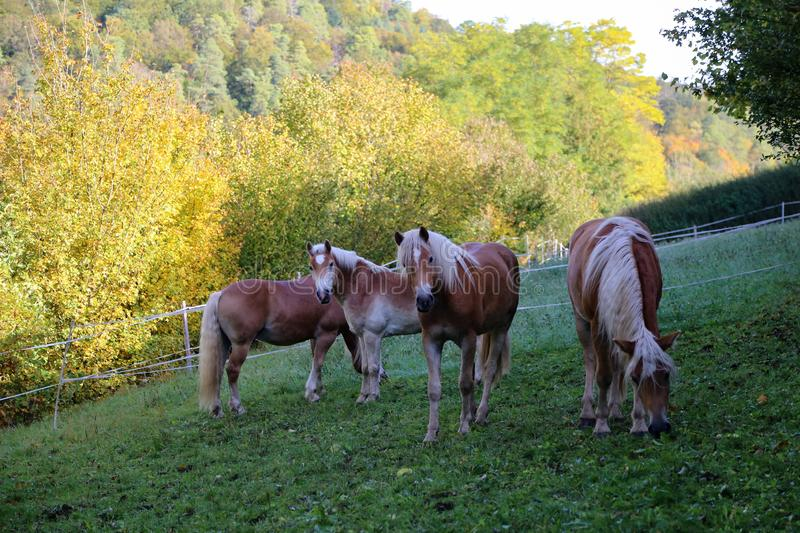 Beautiful haflinger horses stand in the paddock royalty free stock photography