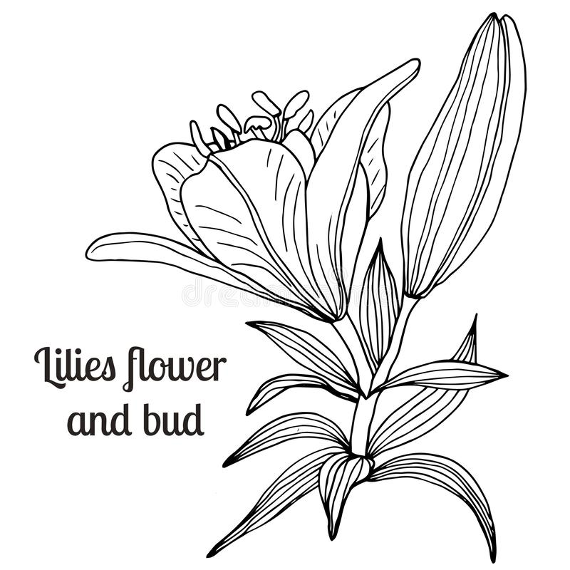 Beautiful hand-drawn lilies and leaves. Vector botanical illustration. Vintage sketch hand-drawn of liner lilies, tattoo vector, etch style. Buds, leaves, stem vector illustration