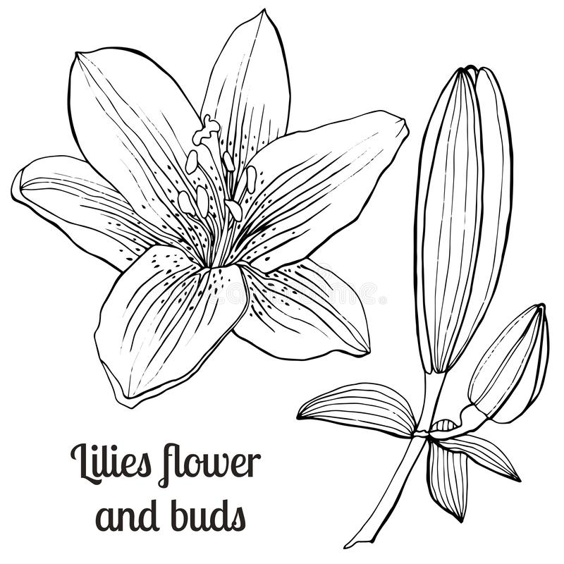 Beautiful hand-drawn lilies and leaves. Vector botanical illustration. Vintage sketch hand-drawn of liner lilies, tattoo vector, etch style. Buds, leaves, stem royalty free illustration