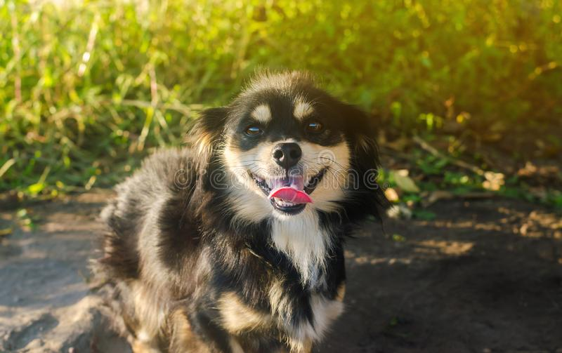 Beautiful happy black dog on a background of green grass on a bright sunny day. Pet smile. Animal. Selective focus.  stock photo