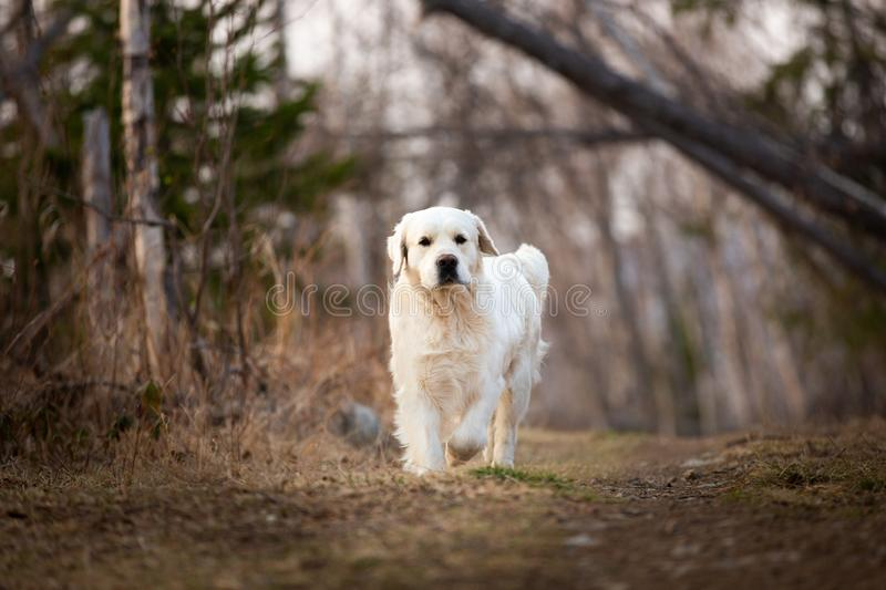 Beautiful and happy dog breed golden retriever running in forest and has fun at sunset. Portrait of beautiful and happy dog breed golden retriever running in royalty free stock image