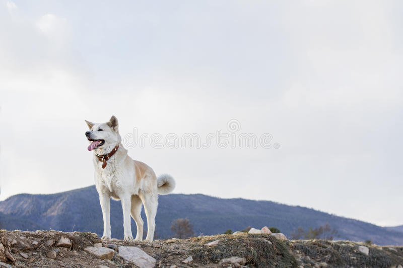 Beautiful happy dog Japanese Akita Inu with tongue out on a mountain background in the spring on the shore of Lake Baikal. stock photo