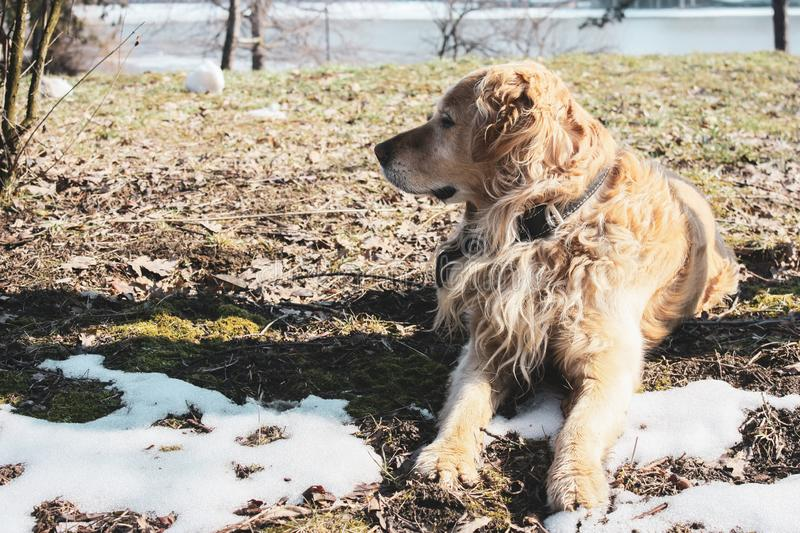 Beautiful happy golden retriever puppy in the park in the snow watching royalty free stock photos