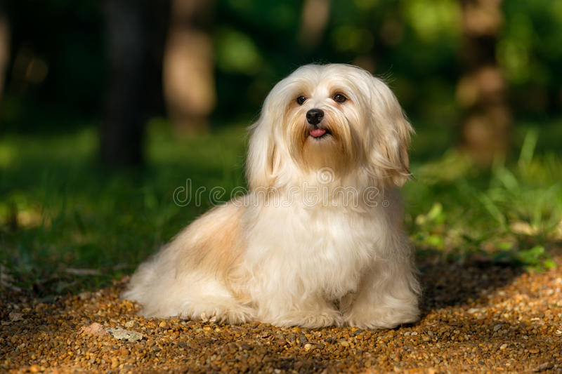 Beautiful happy havanese dog is sitting on a sunny forest path. Beautiful happy cream havanese dog is sitting on a sunny forest path in late summer royalty free stock image