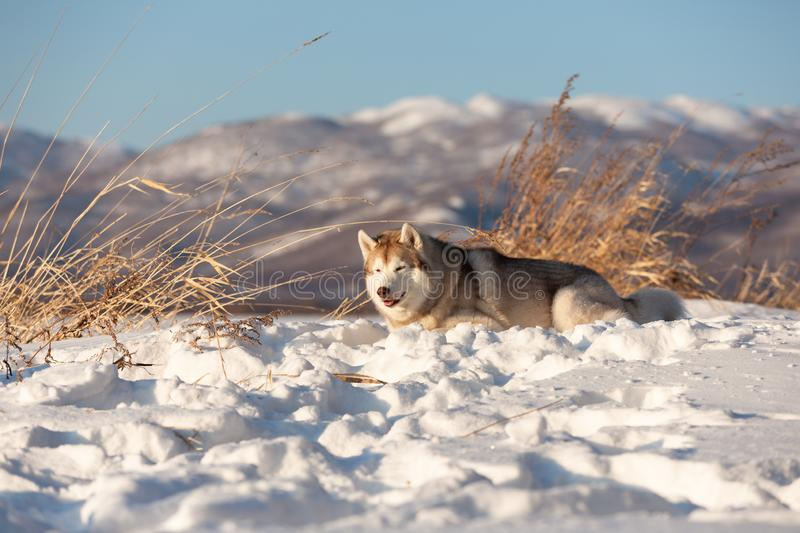 Beautiful and happy siberian husky dog lying in the snow field in winter at sunset on mountain backround. Portrait of Beautiful, free and happy dog breed royalty free stock images