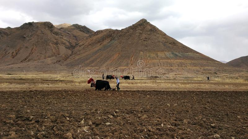 Beautiful but hard. Asia travel, Tibet, Buddhism, an example of the difficulty of plowing the arid Tibetan fields with the use of yaks stock image