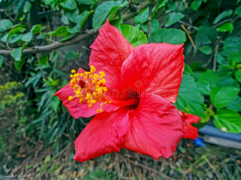 A beautiful Hawaiian Hibiscus Red Flower stock photography