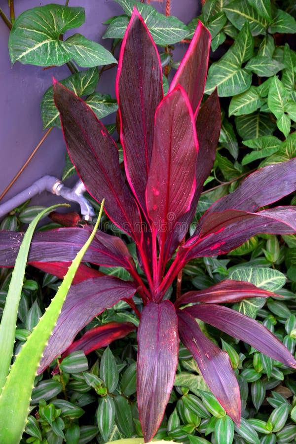 Beautiful Hawaiian Ti Plant stock images