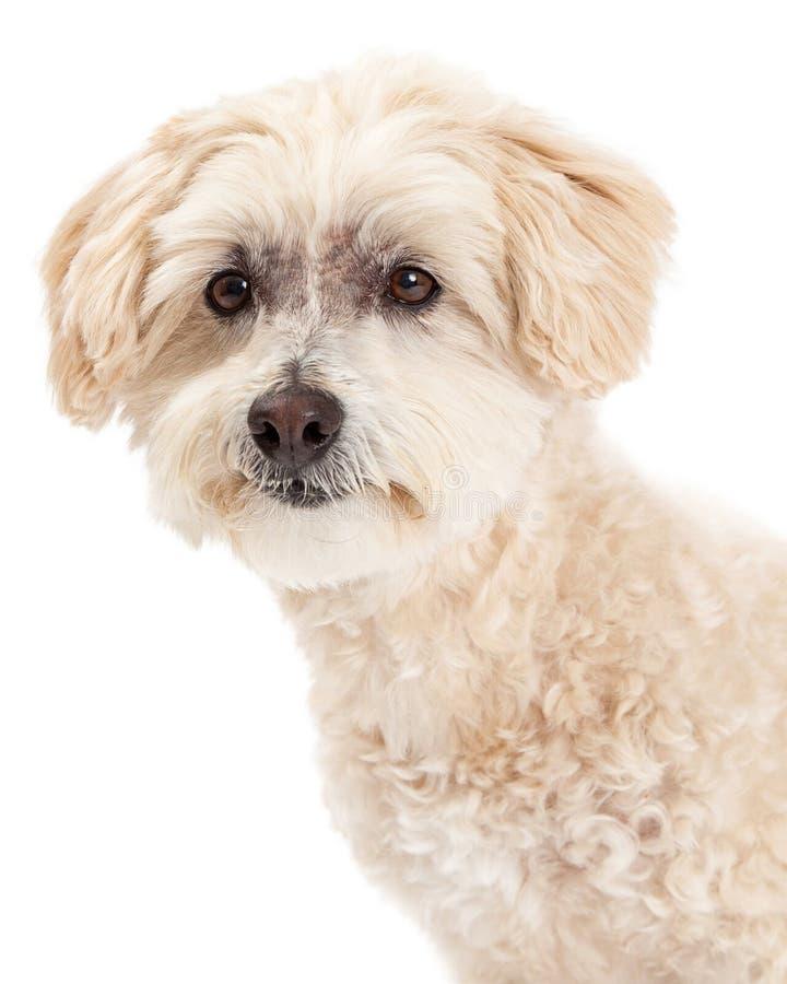 Beautiful Headshot of Maltese and Poodle Mix Dog royalty free stock photography