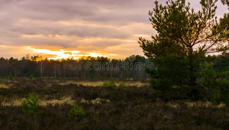 Beautiful heather landscape with a tree and view on the forest at sunset, sundown giving a colorful effect in the sky and clouds royalty free stock images