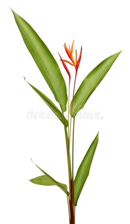 Beautiful Heliconia flower blooming in vivid color. S on white background with clipping path included stock image